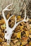 Cráneo de los ciervos con las astas Imagenes de archivo