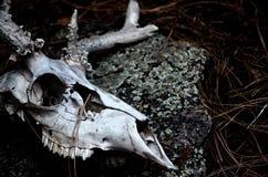 Cráneo de los ciervos en el bosque imágenes de archivo libres de regalías