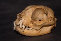 Cráneo de los gatos 45 grados con el fondo negro imagenes de archivo
