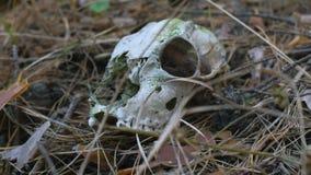 Cráneo de un animal almacen de metraje de vídeo