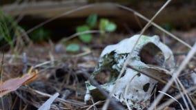Cráneo de un animal metrajes