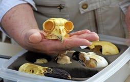 Cráneo de un gran búho de cuernos Fotos de archivo