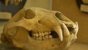 Cráneo de un lobo almacen de video