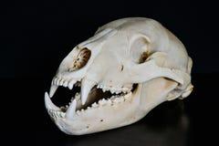 Cráneo de un oso Imagen de archivo libre de regalías