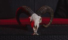Cráneo de una cabra de montaña Imagenes de archivo