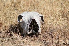 Cráneo del animal salvaje imagen de archivo