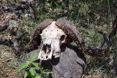 Cráneo del búfalo foto de archivo