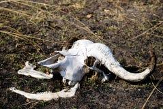 Cráneo del búfalo Fotografía de archivo