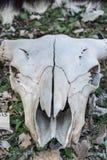 Cráneo del búfalo Foto de archivo libre de regalías