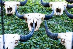 Cráneo del búfalo Imagenes de archivo