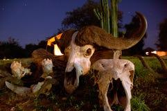 Cráneo del búfalo con los claxones Foto de archivo libre de regalías
