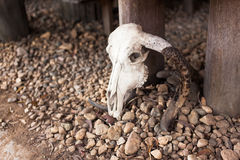 Cráneo del búfalo en la tierra Fotografía de archivo