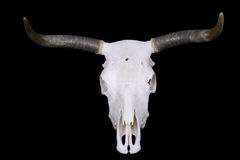 Cráneo del buey fotografía de archivo libre de regalías