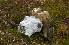 Cráneo del buey de almizcle Foto de archivo libre de regalías