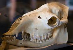 Cráneo del caballo Imagen de archivo libre de regalías