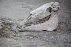 Cr?neo del caballo en una tierra de piedra agrietada fotografía de archivo