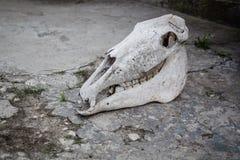 Cr?neo del caballo en una tierra de piedra agrietada imágenes de archivo libres de regalías