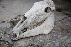 Cr?neo del caballo en una tierra de piedra agrietada fotografía de archivo libre de regalías