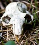 Cráneo del conejo Imagen de archivo libre de regalías