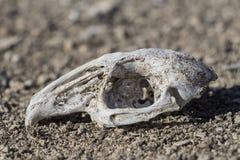 Cráneo del conejo en naturaleza foto de archivo