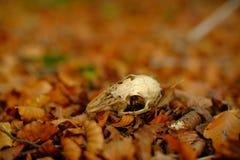 Cráneo del conejo fotografía de archivo