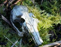 Cráneo del conejo invadido por el musgo fotografía de archivo libre de regalías