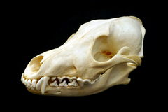 Cráneo del coyote Fotografía de archivo