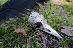Cráneo del cuervo Foto de archivo libre de regalías