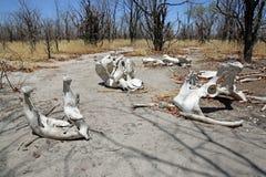 Cráneo del elefante Foto de archivo libre de regalías