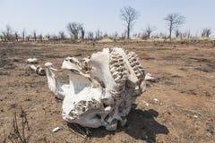 Cráneo del elefante Fotografía de archivo libre de regalías