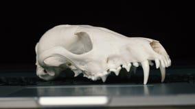 Cráneo del Fox sin el maxilar inferior en el teclado del ordenador portátil Concepto de los peligros del TIC Tehology y artificia almacen de metraje de vídeo