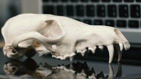 Cráneo del Fox sin el maxilar inferior en el teclado del ordenador portátil Concepto de los peligros del TIC Tehology y artificia almacen de video