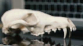 Cráneo del Fox sin el maxilar inferior en el teclado del ordenador portátil Concepto de los peligros del TIC Tehology y artificia metrajes