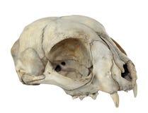 Cráneo del gato Imagen de archivo libre de regalías