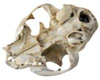 Cráneo del gato Foto de archivo