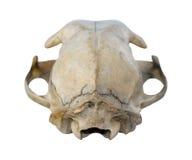 Cráneo del gato Foto de archivo libre de regalías