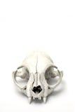 Cráneo del gato Fotos de archivo libres de regalías