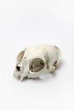 Cráneo del gato Fotografía de archivo libre de regalías