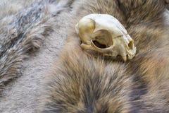 Cráneo del lince Foto de archivo libre de regalías