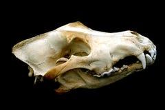Cráneo del lobo Imagenes de archivo