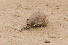 Cráneo del lobo marino del cabo (pusillus del Arctocephalus) Fotos de archivo