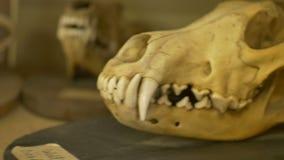 Cráneo del lobo viejo almacen de metraje de vídeo