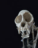 Cráneo del mono Imagen de archivo libre de regalías