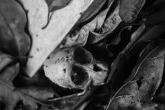Cráneo del mono Fotos de archivo libres de regalías