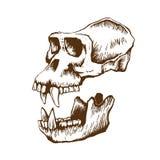 Cráneo del mono de Garrile foto de archivo