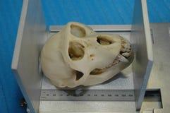 Cráneo del mono medido Foto de archivo libre de regalías