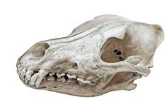 Cráneo del monstruo Fotos de archivo