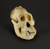 Cráneo del orangután Foto de archivo libre de regalías