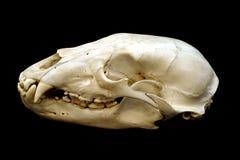Cráneo del oso Imagenes de archivo