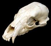 Cráneo del oso Foto de archivo libre de regalías